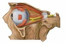 Болит голова и глаза – почему так происходит и как лечить